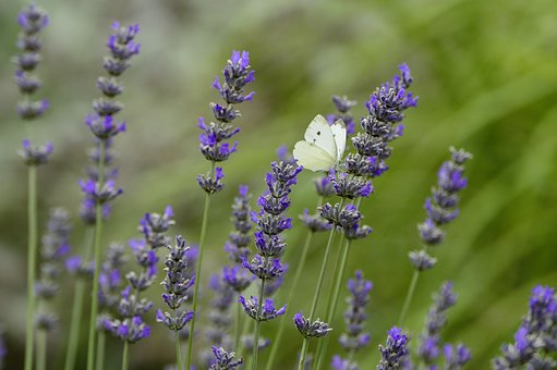 Lavender, Flower, Butterfly, Insect, White, Nature