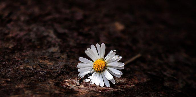 Daisy, Flower, Nature, Blossom, Bloom, White, Summer