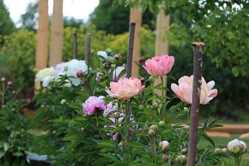 Flowers, Peony, Pink, Bloom, Summer, Garden, Beauty