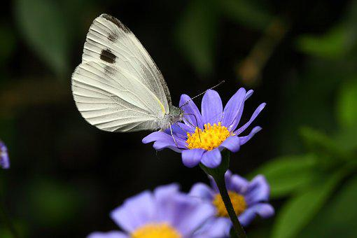 The White One, Insects, Butterfly, Nature, Flowers