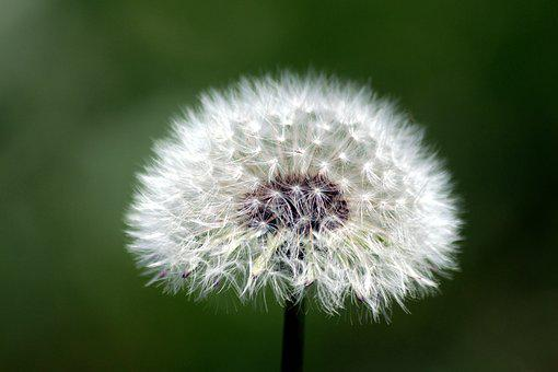 Dandelion, Furry, Fluffy Dandelion, Plant, Flower