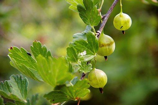 Berry, Gooseberry, Vitamins, Fresh, Sweet, Green