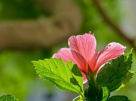 Hibiscus, Plant, Flower, Light, Bloom, Beautiful