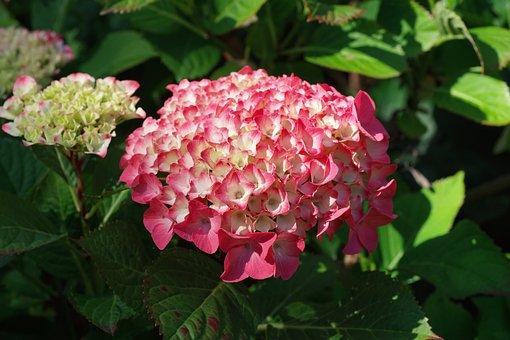 Hydrangeas, Flowers, Summer, Garden, Hydrangea Flowers