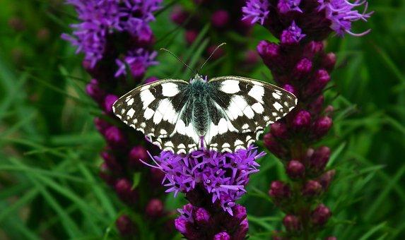 Butterfly, Insect, Nature, Flower, Latria Kłosowa
