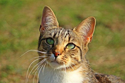 Cat, Mieze, Tiger Cat, Mackerel, Domestic Cat, Kitten
