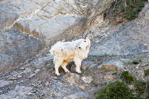 Mountain Goat, Goat, Jasper, Alberta, Canada, Park