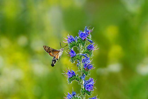 Nature, Insect, Butterfly, Hummingbird Hawk Moth