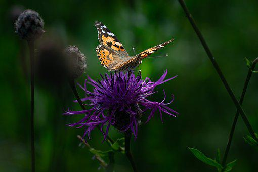 Butterfly, Painted Lady, Edelfalter, Insect