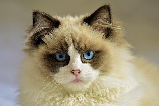 Cat, Feline, Pet, White, Young, Blue Eyes
