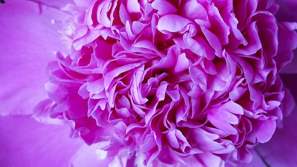 Flower, Peony, Background, Plant, Nature, Petal