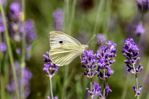 Butterfly, Small Cabbage White Ling, Pieris Rapae