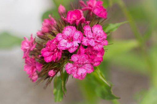 Flower, Pink, Pink Flower, Blossom, Bloom, Pink Blossom