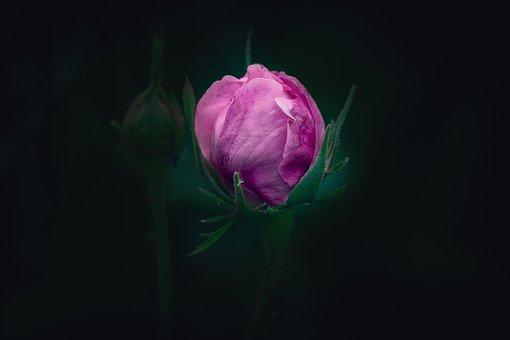 Rose, Pink, Flower, Pink Flower, Bud, Closed, Blossom