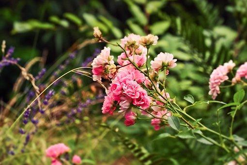 Roses, Flowers, Blossom, Bloom, Nature, Romantic, Plant
