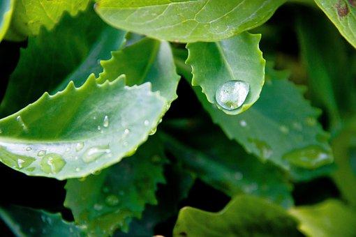 Rosa, Plant, Sheet, Drip, Green, Nature, Dew, Flora