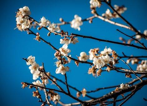 Plum Blossom, The Scenery, Winter Landscape