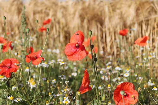 Poppies, Edge Of Field, Red, Summer, Klatschmohn