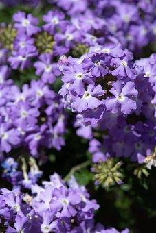 Flowers, Blue, Blue Flowers, Primrose, Drumstick