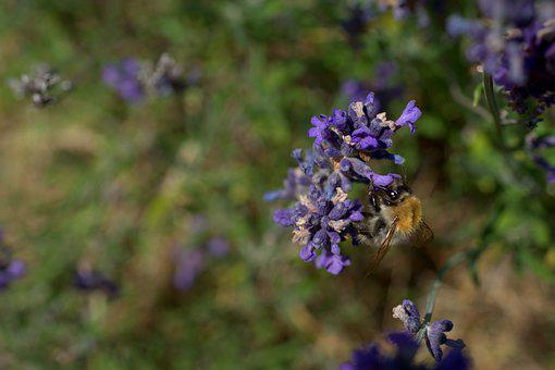 Hummel, Lavender, Purple, Blossom, Bloom, Summer