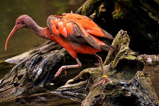 Ibis, Eudocimus Ruber Scarlet Ibis, Red Ibis