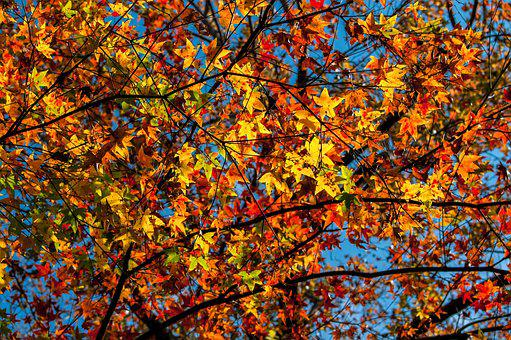 Maple, Red Maple, Autumn Leaves