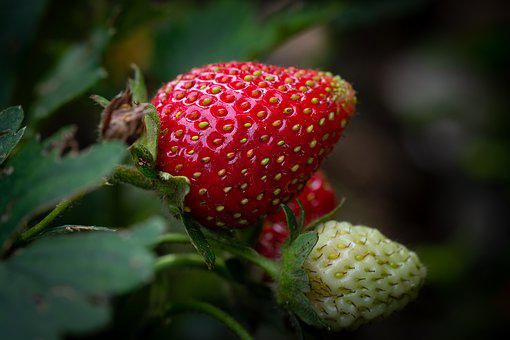 Strawberry, Ripening Process, Garden, In The Garden