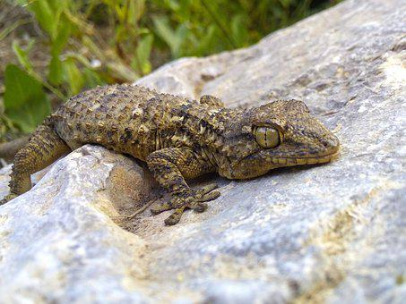 Dragon, Lizard, Gecko, Rock, Texture, Stalking, Reptile