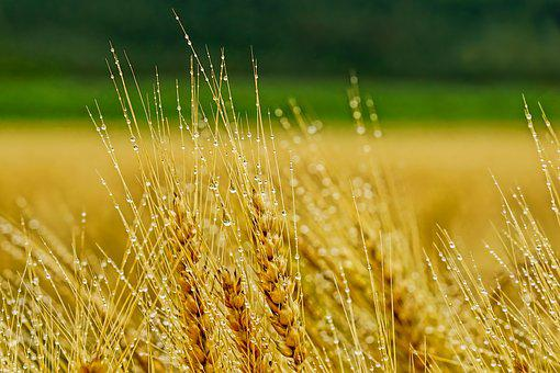 Nature, Agriculture, Cornfield, Barley, Rural, Summer