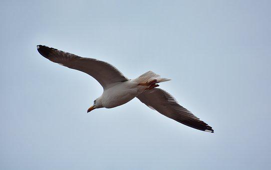 Seagull, Birds, Nature, Sea, Wing, Seagulls