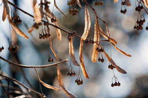 Linden, Tree, Lime Seeds, In The Fall, Season, Nature