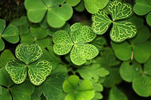 Klee, Shamrocks, Plant, Symbol Of Good Luck, Nature