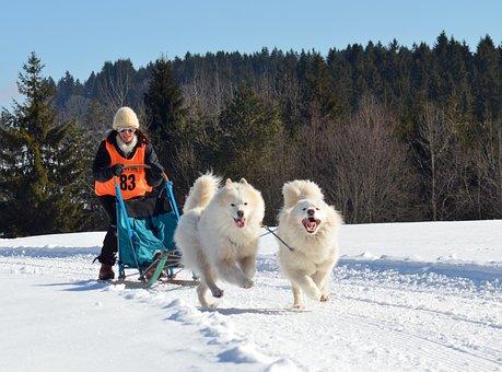 Samoyed, Dog, Sled Dog, Snow Dog, White, Pet