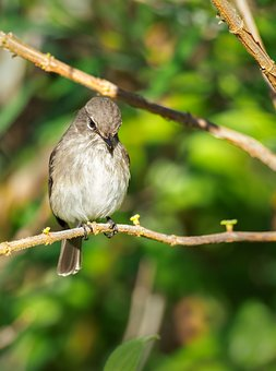 African Dusky Flycatcher, Bird, Nature, Sparrow, Branch