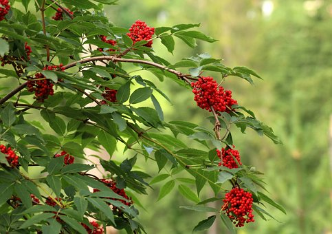 Sorbus Aucuparia, Vegetation, Bush, Tree, Red Fruits