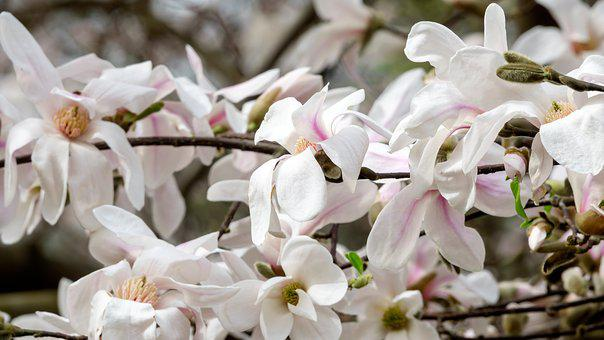 Magnolia, Colour, Flower, Petals, White, Trees, Nature