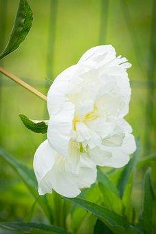 Peony, White, White Peony, Blossom, Bloom