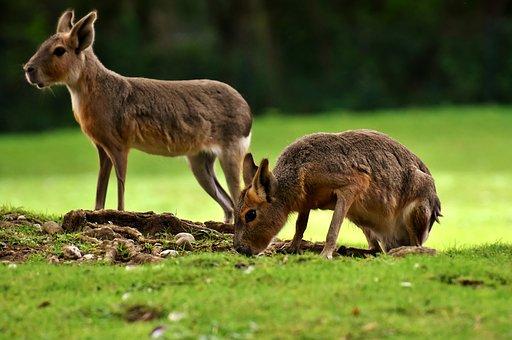 Mara Mammal, Wild Animal, Cute, Zoo, Enclosure, Sweet