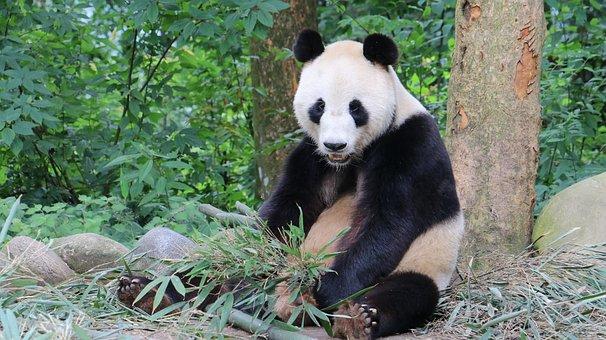 Panda, Sichuan, China, Ya'an, Bifengxia