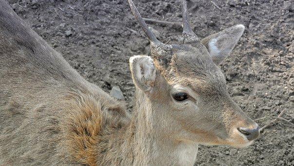 Fallow Deer, Young Male Fallow Deer, Young Danek