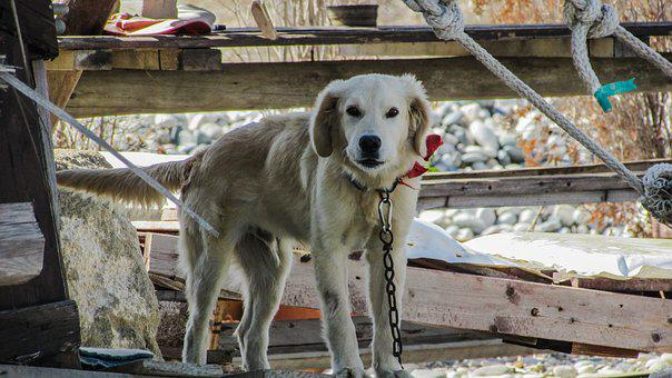 Dog, Tied, Leery, Suspicious, Guardian, Alert, Animal