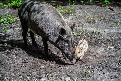 Boar, Young, Bache, Launchy, Animals, Nature