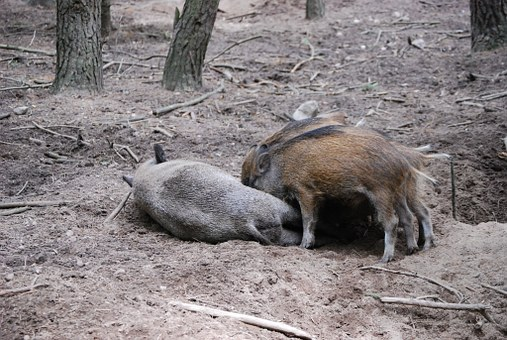 Wild Boars, Pigs, Little Pig, Bache