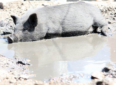 Animal, Bacon, Big, Boar, Clean, Cute, Dirty, Ear, Eco