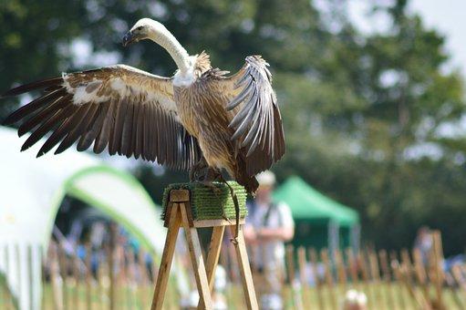 Vulture, Bird, Wings, Nature, Animal, Wildlife, Beak