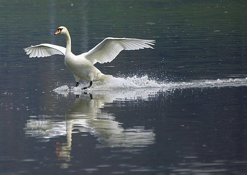 Swan, Wisla, Nature, Bird