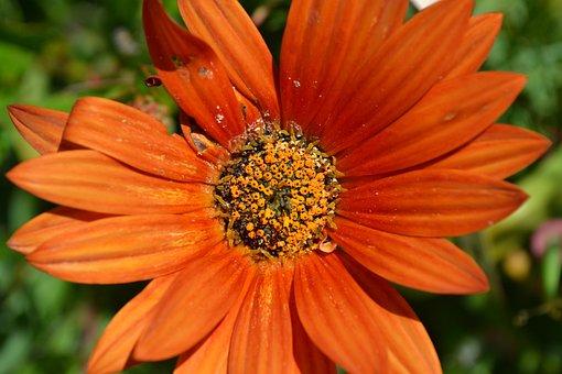 Flower, Daisy, Oran, Floral, Nature, Bloom, Garden
