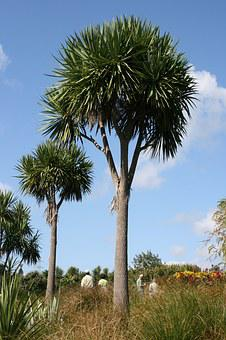Palm Trees, Cordyline Australis, Botanical Garden
