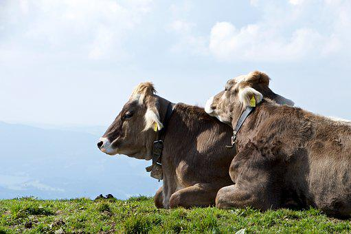 Cows, Cow, Alm, Together, Rest, Hike, Mountains