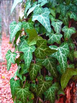 Ivy, Foliage, Forest, Wrapped Up Tree, Creep, Creeper